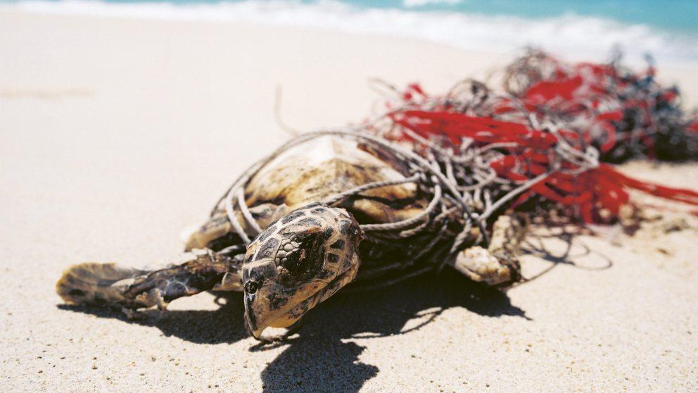 Détroit de Torrès. Une tortue enchaînée à ses filets. Elle sera sauvée par les rangers.