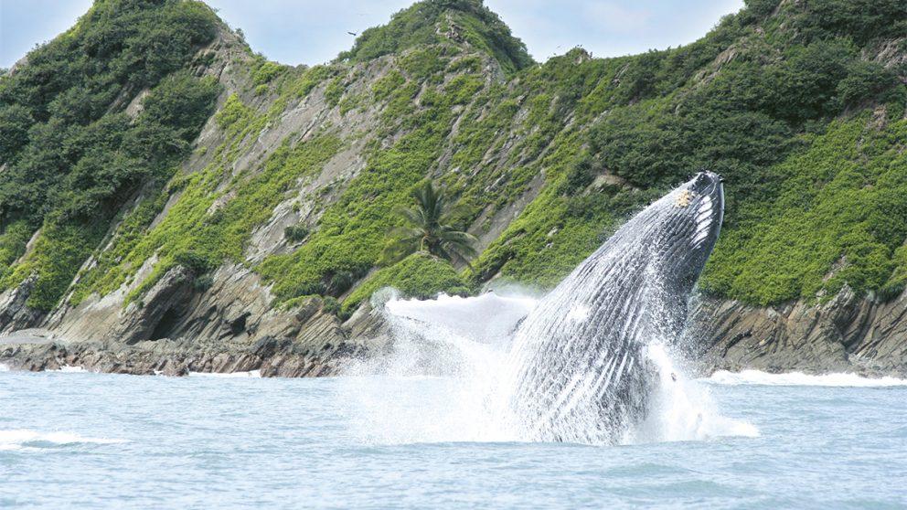 Les baleines à bosse parcourent jusqu'à 18'000 kilomètres pour se reproduire dans les eaux du Costa Rica. / Le parc naturel de Cahuita a été créé en 1978 pour protéger un paysage et un récif corallien d'une beauté saisissante. Mais Cahuita est menacé par la pollution aux pesticides qui ruisselle des plantations de bananes.
