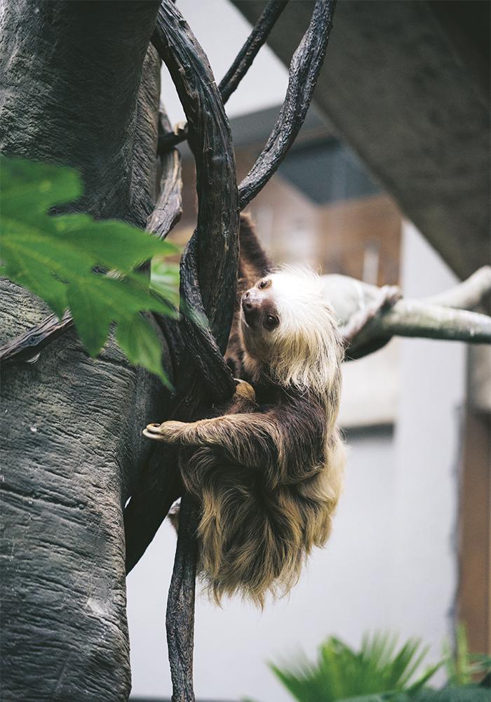 PARESSEUX_Le Costa Rica abrite 6% de toutes les espèces végétales et animales aujourd'hui recensées dans le monde. L'incroyable richesse de sa biodiversité en fait un véritable jardin d'Éden.