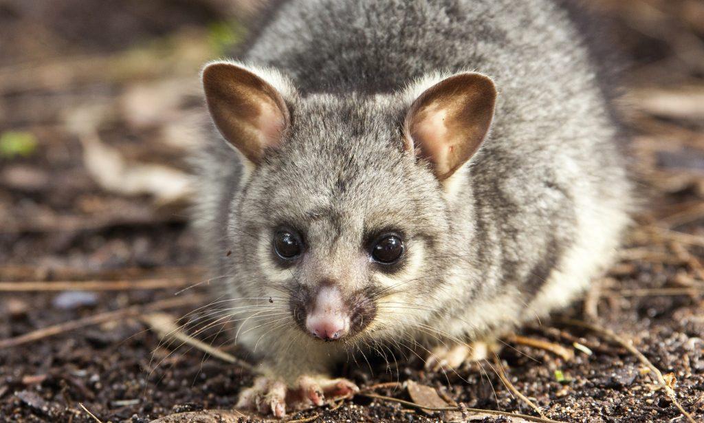 Kiwi, manchot royal et opossum. Le premier est en voie de disparition, le dernier est considéré comme l'ennemi numéro un du pays.