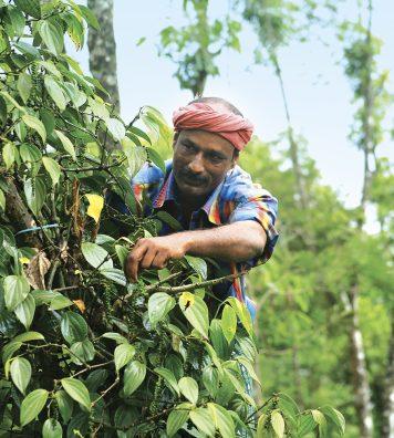 La cueillette des épices. Dans les plantations du Kerala, des ouvriers récoltent à la main les fruits qui seront séchés avant de devenir des épices, comme ici la cardamome.