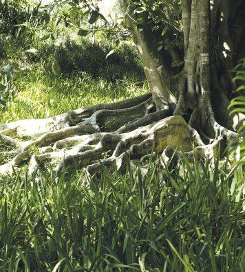 Le lieu, laboratoire de la flore tropicale, est aujourd'hui classé au patrimoine national. La surprenante esthétique des racines d'un figuier centenaire dans le « sitio » de l'artiste.