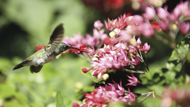 La déforestation grignote l'habitat de certains oiseaux-mouches du Brésil, comme ce colibri à cravate verte. Ces minuscules oiseaux sont les seuls au monde capables de voler à reculons.