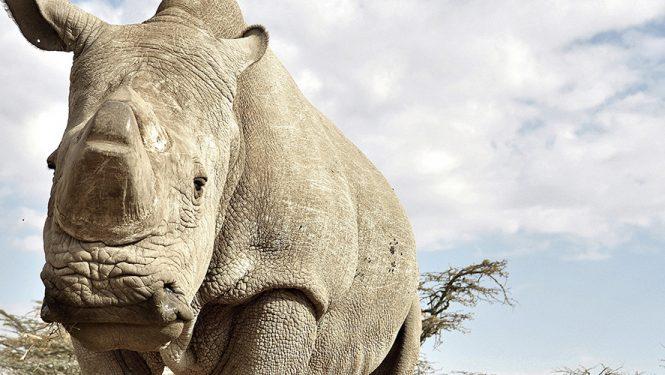 Sudan est le dernier rhinocéros blanc du Nord mâle encore en vie. Le rhinocéros blanc du Nord est une espèce quasiment éteinte puisqu'il n'en existe plus que quatre dans le monde.