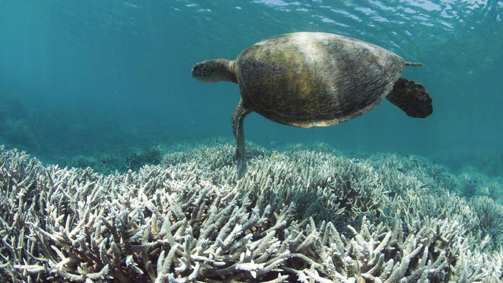 La Grande barrière de corail en danger de mort imminente. Le plus grand récif corallien au monde risque de disparaître d'ici 20 ans sous l'effet du réchauffement climatique.