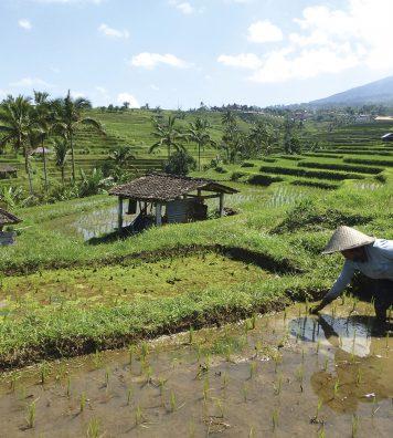 Une fermière repique le riz dans les rizières de Jatiluwih, dans le centre de Bali. Référencées par l'UNESCO, elles portent bien leur nom qui signifie « vraiment merveilleuses ».